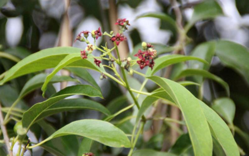 サンダルウッド  Santalum austrocaledonicum
