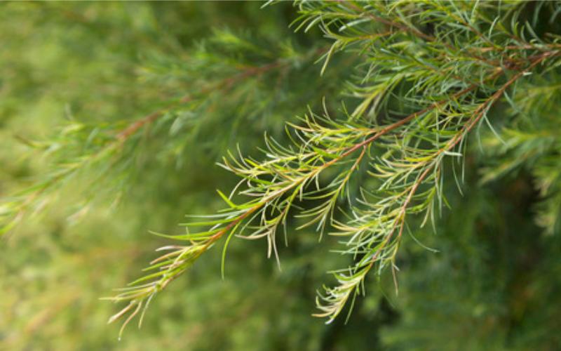 ティートゥリー  Melaleuca alternifolia