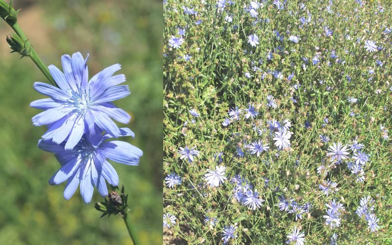 Chicory チコリ― キクニガナ