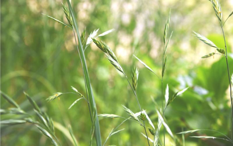 Wild oat ワイルドオート