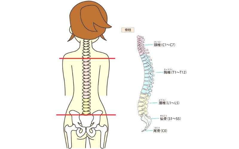脊柱ライン 調整