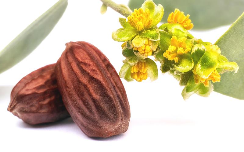 jojoba oil seeds&flowers