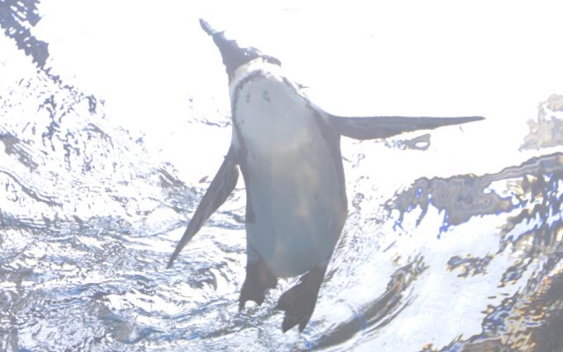飛び込んだペンギン 泳ぐ