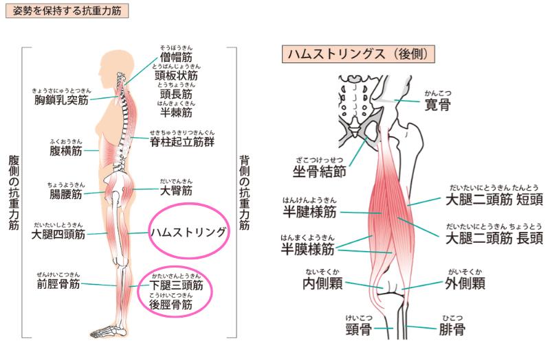 脚の後面の筋肉