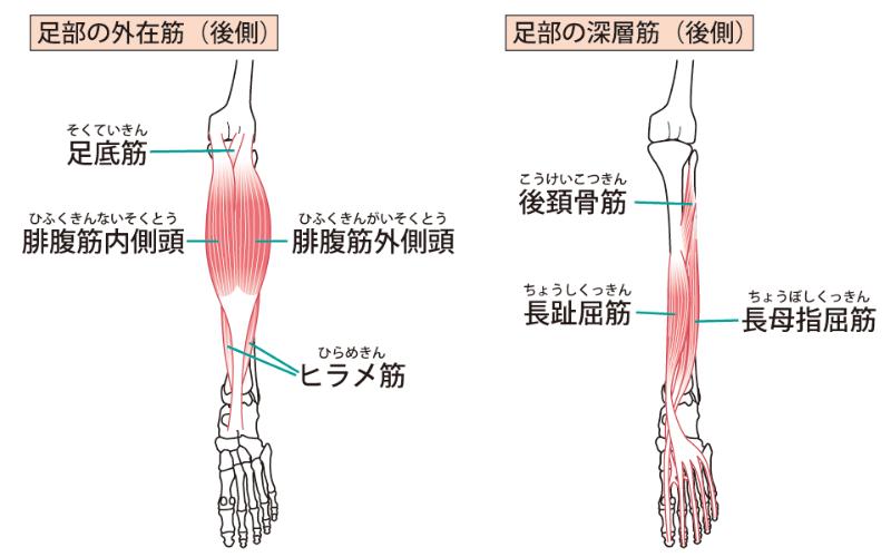 下肢後面の筋肉