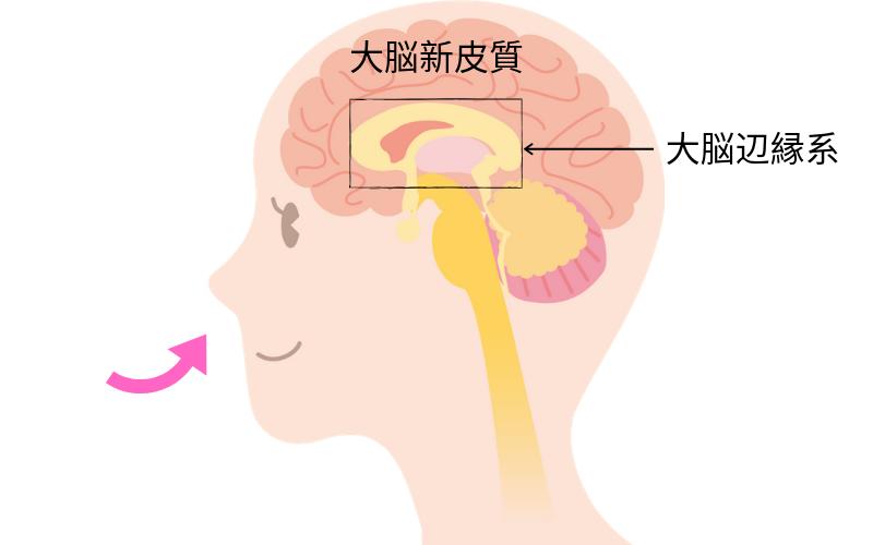 大脳辺縁系 嗅覚